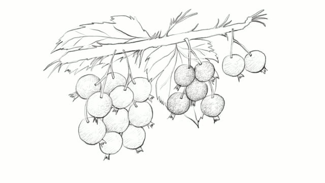 hand drawn of ripe blackcurrants video clip - sketch stock videos & royalty-free footage