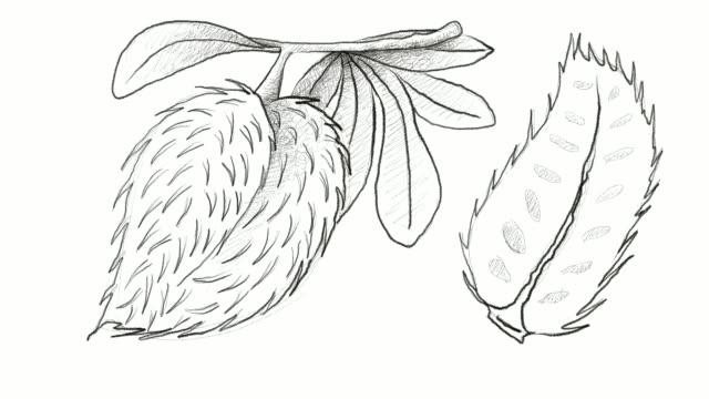 手描き熟したトゲバンレイシ果物ビデオ クリップの - カスタードクリーム点の映像素材/bロール