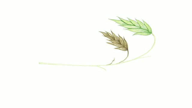 vídeos de stock e filmes b-roll de hand drawn of river oats or northern sea oat video clip - agrafo