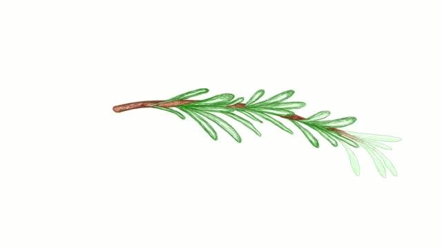 ローズマリー植物ビデオクリップの手描き - ローズマリー点の映像素材/bロール