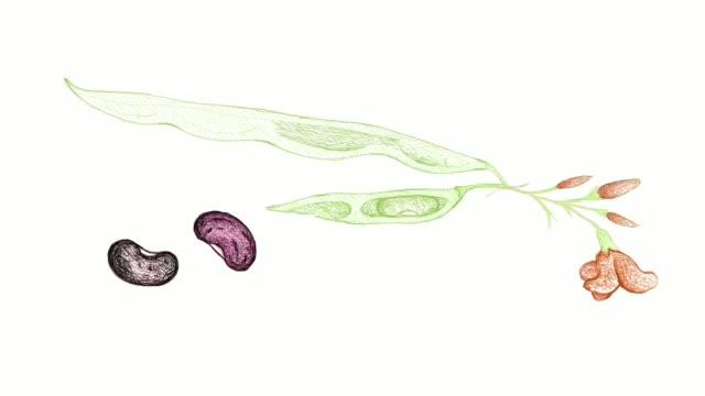hand drawn of runner bean plant video clip - runner bean stock videos & royalty-free footage