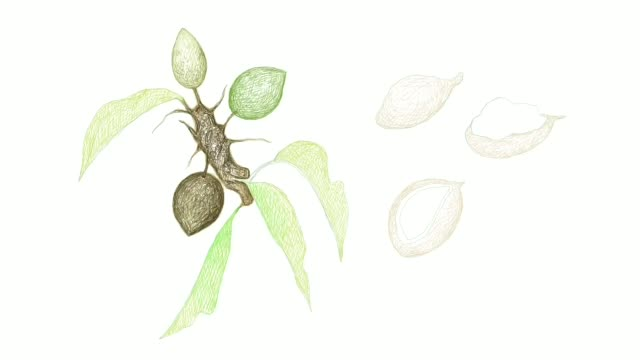 hand drawn of shea butter fruits video clip - natural condition stock videos & royalty-free footage