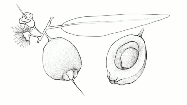 hand drawn of syzygium jambos fruits video clip - plum stock videos & royalty-free footage