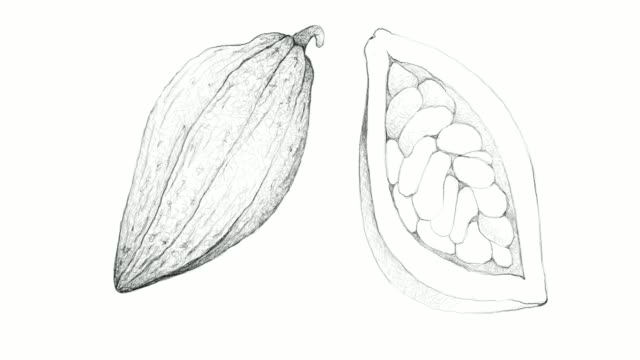 Hand Drawn of Theobroma Cacao Fruits Video Clip