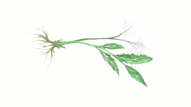 hand drawn of valerian plant video clip - root stock videos & royalty-free footage