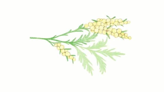 hand gezeichnet von wermut pflanzen video-clip - absinth stock-videos und b-roll-filmmaterial