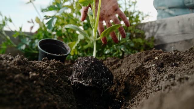 vidéos et rushes de cu super slow motion largage de plants de plantes dans le sol du jardin - jardin potager