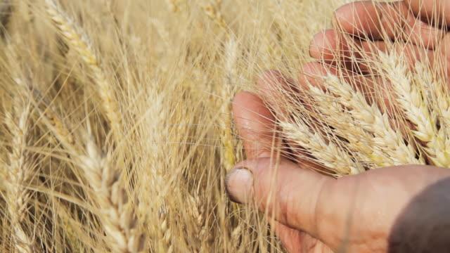 HD: Mano esaminando il grano