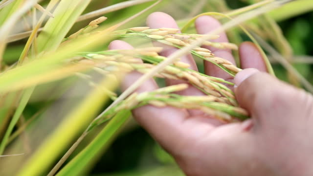 hand farmer checking grain grow at paddy field, slow motion - rice plant stock videos and b-roll footage