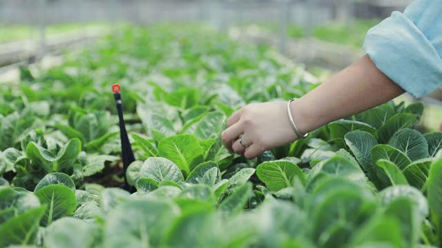 vídeos y material grabado en eventos de stock de los agricultores de mano en los campos agrícolas orgánicos inspeccionan el concepto de control de calidad, agricultura o agroindustria. - granja ecológica
