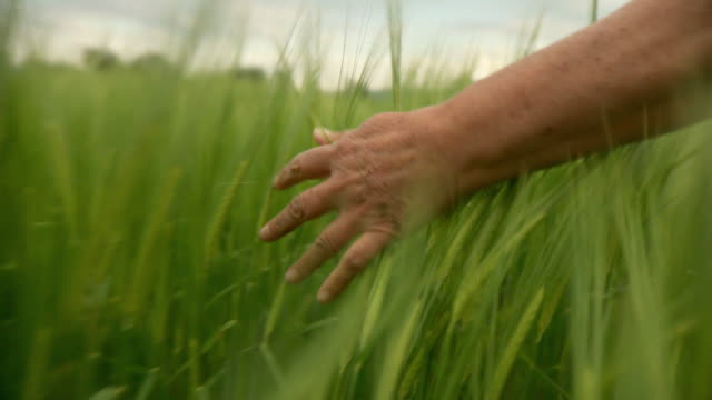 HD: Hand Going Through Wheat