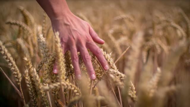 vídeos y material grabado en eventos de stock de mano pasar trigo - granja ecológica