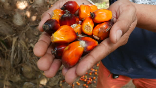 hand harvesting palm oil in the plant - palm tree stock videos & royalty-free footage