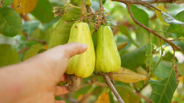 hand harvesting ripe yellow cashew nut fruits growing on tree - botany stock videos & royalty-free footage