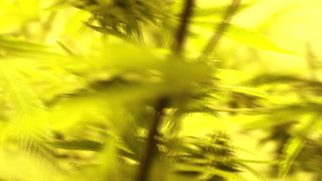 Hand held close shot moving across cannabis plants.