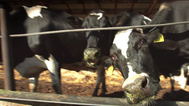 Hand Held Shot of Cows Eating from Trough