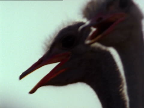 vidéos et rushes de hand held shot of ostriches looking around - cou d'animal