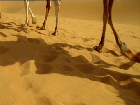 Hand held track following camel's hooves walking in soft sand Sahara Desert