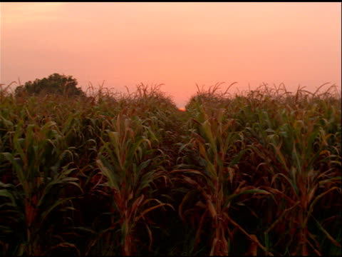 Hand held view of crops in field at sunset, Mississippi