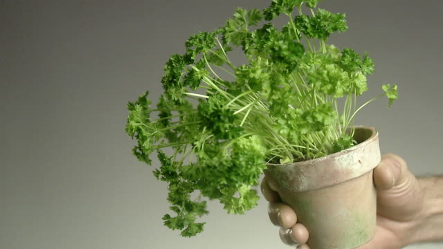 a hand holding a pot of parsley. - parsley stock videos and b-roll footage
