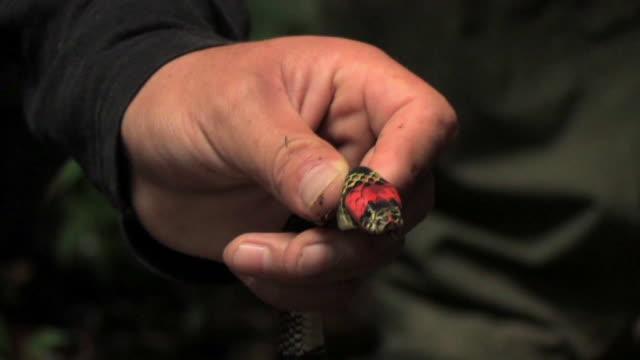 CU Hand holding Coral Snake (Leptomicrurus micrurus micruroides) at base of head in Manu National Park / Peru