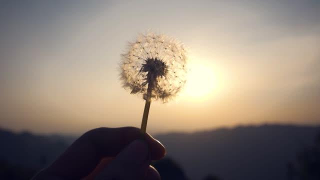 hand holding dandelion at sunset - dandelion stock videos & royalty-free footage