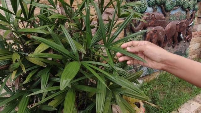 vídeos de stock, filmes e b-roll de mão que prende a folha de palmeira exótica da senhora em um jardim - arbusto tropical