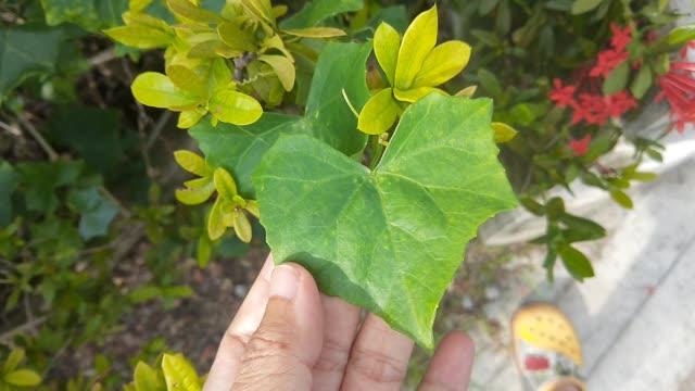 vídeos de stock, filmes e b-roll de mão segurando folha fresca de ivy verde gourd - trepadeira