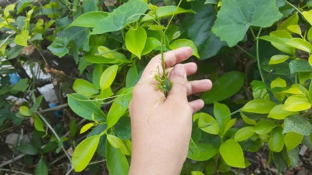 vídeos de stock, filmes e b-roll de mão segurando plantas frescas de ivy verde - trepadeira