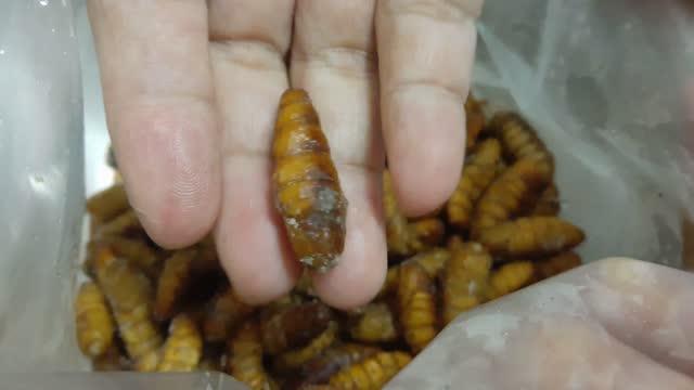 vidéos et rushes de main retenant les vers congelés de noix de coco se préparent à cuire - insecte