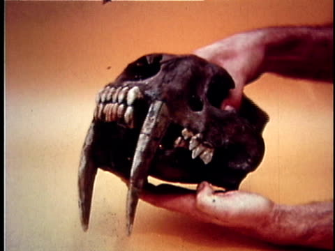 montage cu hand holding skull of saber-toothed tiger discovered in la brea tar pits / los angeles county, california, usa - saber toothed cat stock videos & royalty-free footage