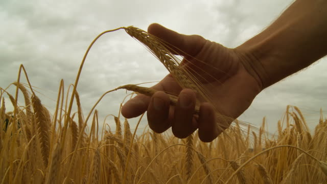 HD: Hand Holding The Wheat Stalk