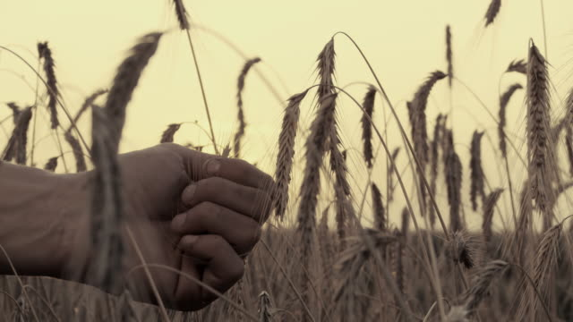 hd: hand holding wheat - open field stock videos & royalty-free footage