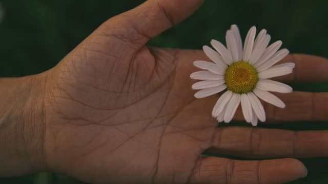 hand holding white daisy blowing in wind, real time - daisy stock videos & royalty-free footage