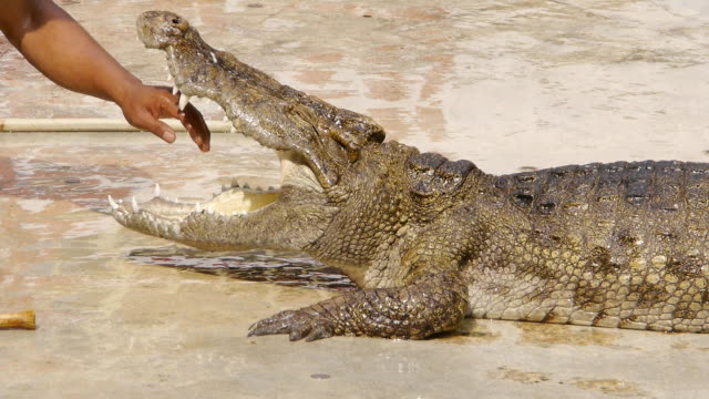 Hand in crocodile's mouth