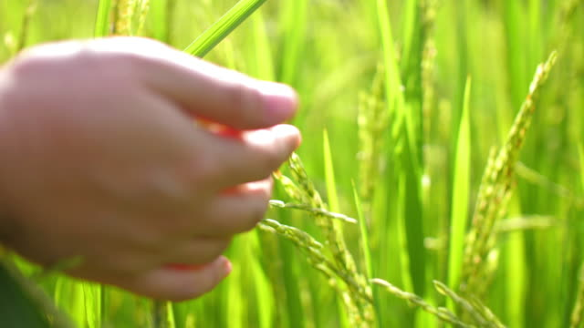 hand of farmer touching a green rice field , agriculture - sorghum stock videos & royalty-free footage