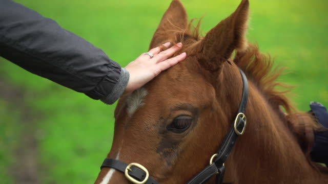 hand pets thoroughbred horses in lush field of flowers - black hairy women stock videos & royalty-free footage