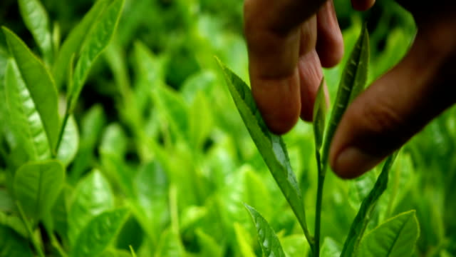 vídeos de stock, filmes e b-roll de mão escolher o chá verde - pegando frutos