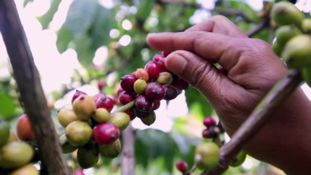 cu hand picking a coffee berry from the arabica plant - picking harvesting stock videos and b-roll footage
