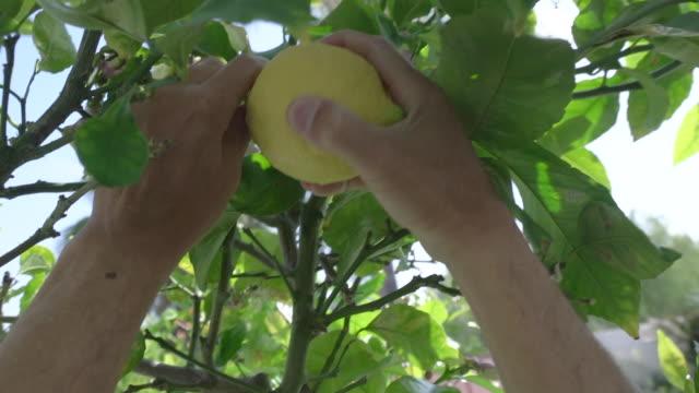 vidéos et rushes de pov cu hand picking a lemon from a tree. - cueillir