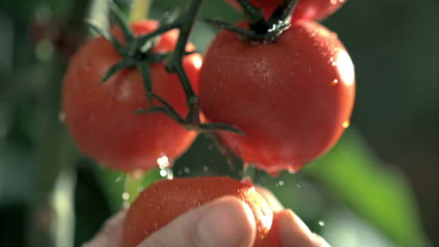slo mo hand picking a tomato from a plant - vegetable stock videos & royalty-free footage