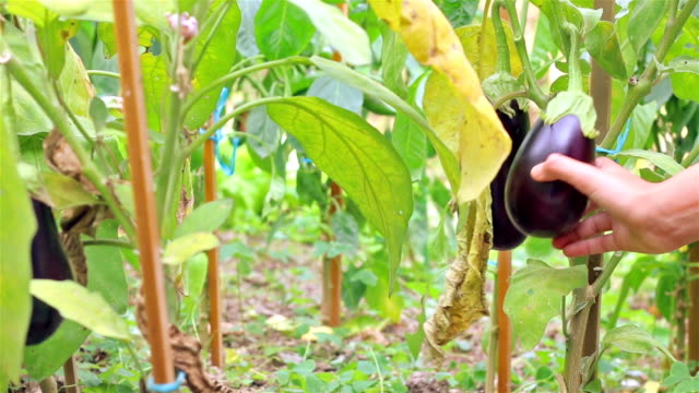 hand picking an eggplant directly from its plant in a garden. - aubergine stock videos & royalty-free footage