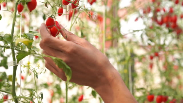 hand picking fresh tomatoes on tree, organic and hydroponic vegetable - biologia video stock e b–roll
