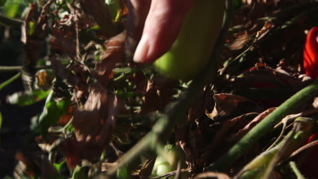 hand picking green tomatoes again - pflücken stock-videos und b-roll-filmmaterial