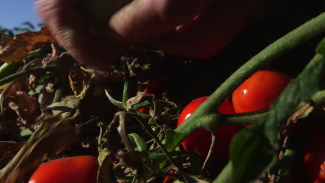 hand picking green tomatoes - wiese stock videos & royalty-free footage