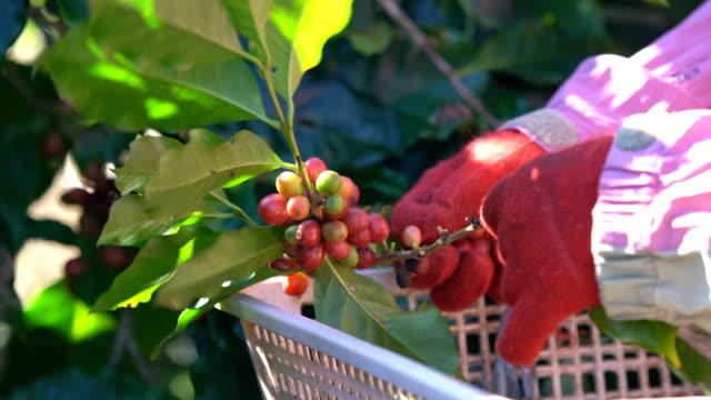 vídeos de stock e filmes b-roll de hand picking up coffee beans. - coleção
