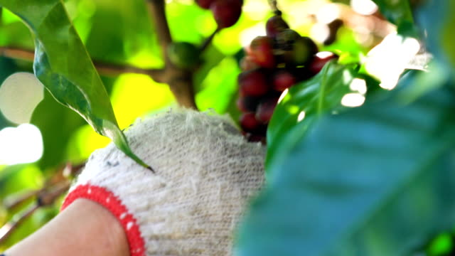 hand picking up coffee beans. - shade stock videos & royalty-free footage