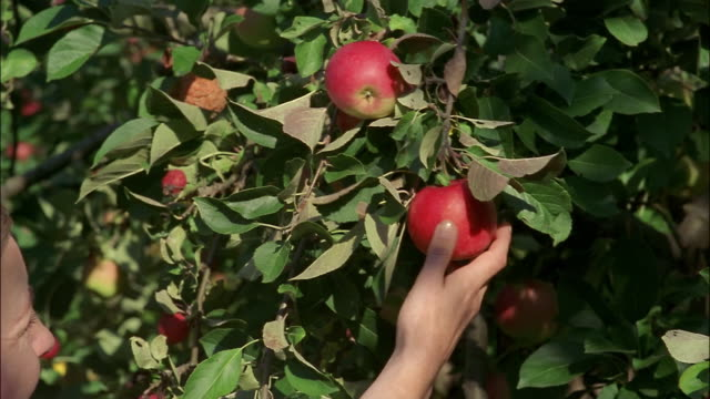 a hand picks an apple from a tree. - picking up stock-videos und b-roll-filmmaterial