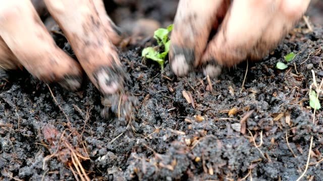 hand planting seedling of vegetable green oak in soil plot - vegetable stock videos & royalty-free footage