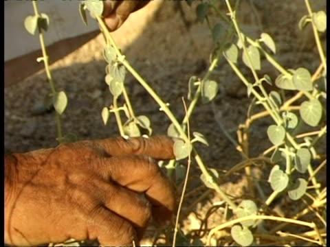 cu hand pointing at plant leaves, white sap coming from stem, egypt - människofinger bildbanksvideor och videomaterial från bakom kulisserna